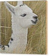 Young Alpaca Wood Print