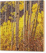 Young And Old Aspens Wood Print