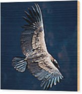 Young Andean Condor Wood Print