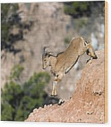 Young Auodad Sheep Descending The Canyon Wood Print