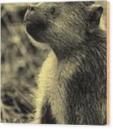 Young Baboon In Black And White Wood Print