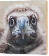 Young Baby Vulture Raptor Bird Wood Print
