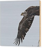 Young Bald Eagle Launches Into The Air Wood Print