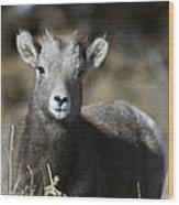 Young Bighorn Sheep Wood Print