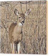 Young Black-tailed Deer Wood Print