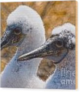 Young Blue Footed Booby Wood Print