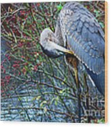 Young Blue Heron Preening Wood Print