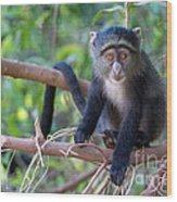 Young Blue Monkey Wood Print