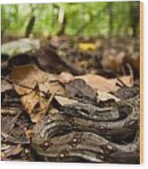 Young Boa Constrictor Wood Print
