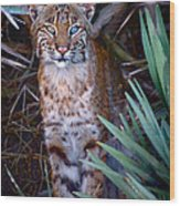 Young Bobcat Wood Print