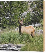 Young Bull Elk - Yellowstone National Park - Wyoming Wood Print