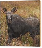 Young Bull Moose Being Aggressive Wood Print