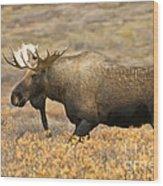 Young Bull Moose Wood Print