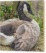 Young Canada Goose Wood Print