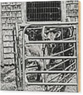 Young Cows In Pen Near Barn Maine Photograph Wood Print