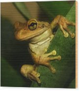 Young Cuban Tree Frog. Wood Print