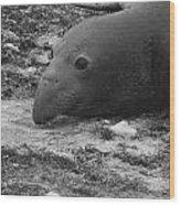 Young Elephant Seal Bull Wood Print by Gwendolyn Barnhart