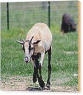 Young Goat Wood Print