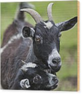 Young Goat With Mother Wood Print