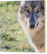 Young Gray Wolf In Light Wood Print