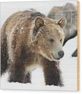 Young Grizzly Bear Wood Print