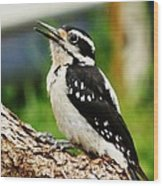 Young Hairy Woodpecker Wood Print