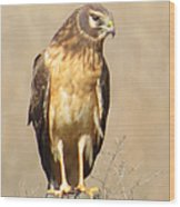 Young Harrier Wood Print