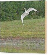 Young Heron In Flight Wood Print