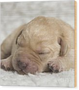 Young Labrador Puppy Wood Print