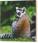 Young Lemur Wood Print