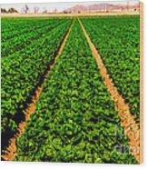 Young Lettuce Wood Print