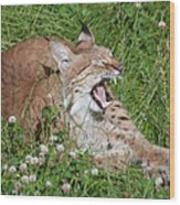 Young Lynx Yawning Wood Print