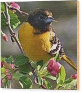 Young Male Oriole Wood Print