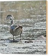 Young Male Wood Duck Wood Print