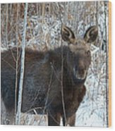 Young Moose 3 Wood Print