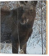 Young Moose 4 Wood Print