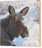 Young Moose Resting Wood Print