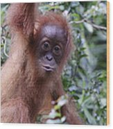 Young Orangutan Kiss Wood Print