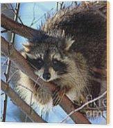 Young Raccoon In Birch Tree Wood Print