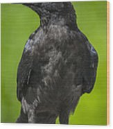 Young Raven Wood Print