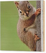 Young Red Squirrel Wood Print