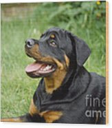 Young Rottweiler Wood Print
