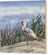 Young Seagull No. 2 Wood Print