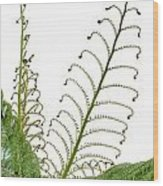Young Spring Fronds Of Silver Tree Fern On White Wood Print