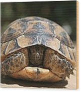Young Spur Thighed Tortoise Looking Out Of Its Shell Wood Print