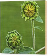 Young Sunflowers Wood Print