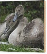 Young Swans Wood Print