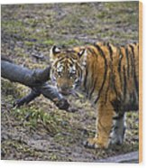 Young Tiger Wood Print