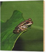 Young Tree Frog On Elephant Ear. Wood Print