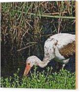 Young White Ibis Wood Print